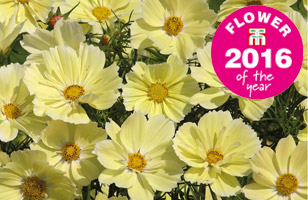 Cosmos 'Xanthos only £2.49p