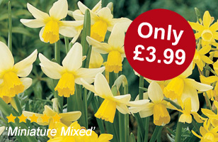 Fantastic daffodil bulbs mix for just £3.99 with orders over £25