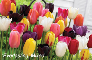 Add a modern feel to your garden pots with world class tulips
