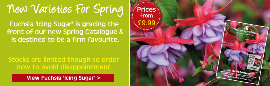 NEW - Fuchsia Icing Sugar - gorgeous flowers with a frosted effect on compact plants ideal for patios or borders - limited stock order now to avoid disappointment