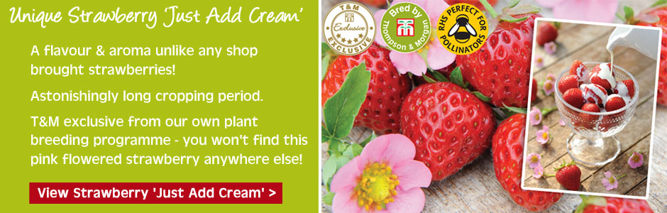 NEW - Strawberry Just Add Cream delicious new pink flowered variety with long cropping period
