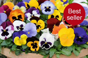 Pansy 'Matrix'™
