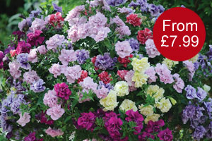 Petunia 'Frills & Spills'™ Mixed' from just £7.99