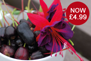 Fuchsia Berry now only £4.99