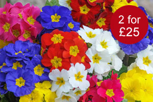 Polyanthus 'Most Scented Mixed'