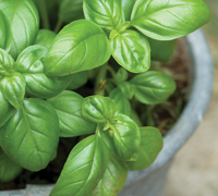 How to sow Basil seed