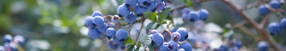 How to Prune a Blueberry Bush Video