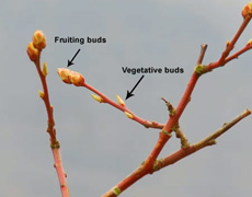 Ensure your blueberry plant always has plenty of fruiting buds