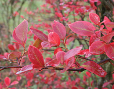 The foliage of blueberry plants turns to vibrant red in the autumn