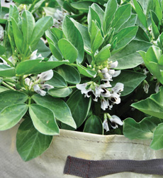 broad beans in containers