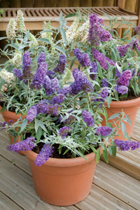 how to grow buddleja buzz thompson