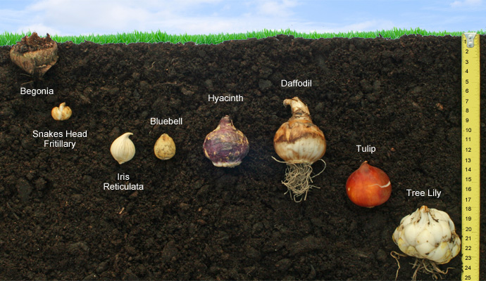 Planting depths for bulbs in cm