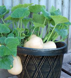 butternut squash Butterbush