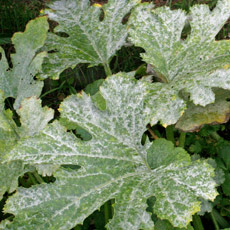Powdery Mildew on courgette plants