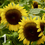 No 1 easy to grow - Sunflowers