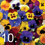No 10 easy to grow - Pansy