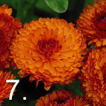 No 7 easy to grow - Marigolds