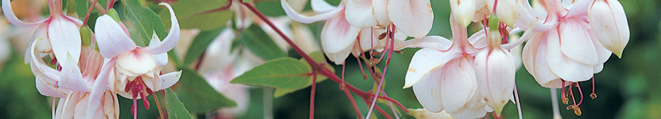 Breeding Fuchsias Part 2 Banner