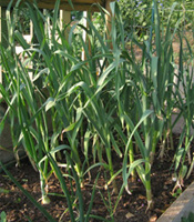 Caring for your Garlic