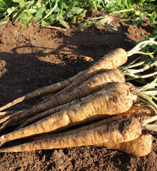 Freshly harvested parsnips