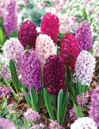 How to grow hyacinths thompson morgan - Planting hyacinths indoors ...