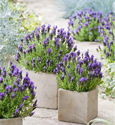 how to grow lavender thompson morgan. Black Bedroom Furniture Sets. Home Design Ideas