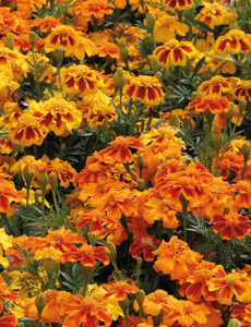 Plant marigolds near your tomato plants to attract beneficial insects that will eat the pests