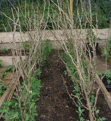 how to make a support for growing peas