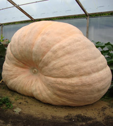 Before you begin growing giant pumpkins its wise to think about how much space you have to spare!