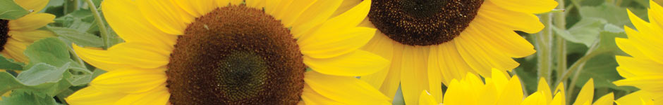 top tips for growing sunflowers