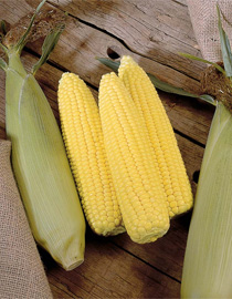 Sweetcorn 'swift' variety