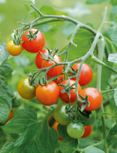 Pin Growing Tomatoes In Pots How To Plant Tomatoes In Containers on