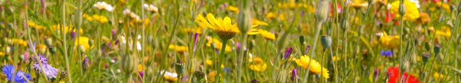 how to grow wild flower seeds