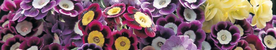 Auriculas - Thompson & Morgan