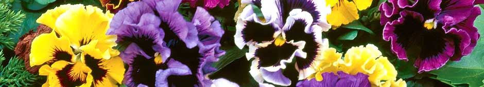 Pansies are not Difficult to Grow from Seed - Thompson & Morgan