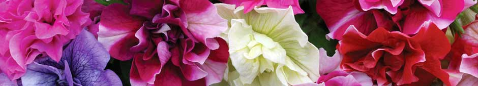 Petunia Articles Banner - Thompson & Morgan