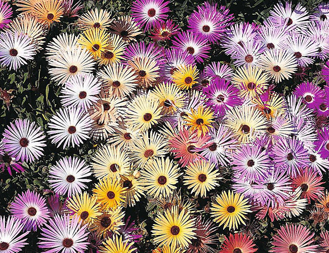 Seed Sowing Guide - Chrysanthemum Hardy Patio Mixed