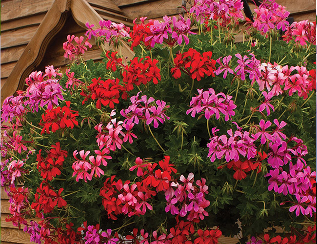 nasturtium flowers used in hanging baskets
