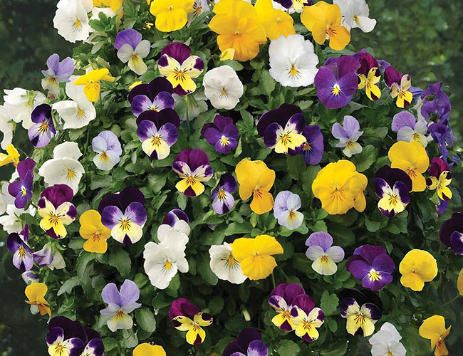 Seed sowing guide Petunia miniflora 'Mini Bella Picotee Mixed' F1 Hybrid