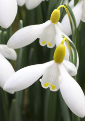 Thompson & Morgan Buy the World's Most Expensive Snowdrop Bulb