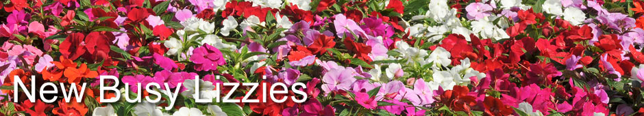 New Guinea Impatiens - free from busy lizzie downy mildew