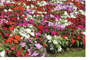 New Guinea Impatiens 'Divine' - free from busy lizzie downy mildew