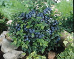 Feed Blueberry plants with ericaceous plant fertiliser