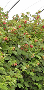 Cut back the fruited canes of Summer raspberries
