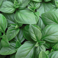 Sow basil indoors now for use during winter