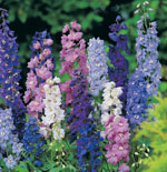 Cut back Delphiniums to encourage new growth