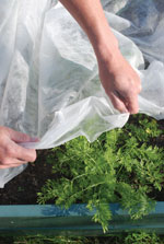 Cover carrots with fleece to protect from carrot fly