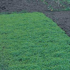 Green Manure - ONLY £2.69