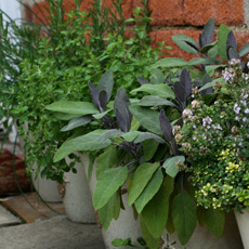 herbs in patio pots