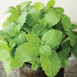 how to start corsican mint from seed